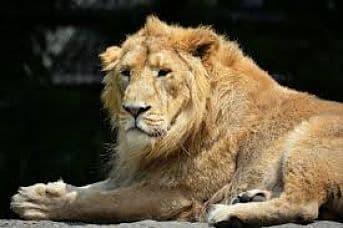 la alimentacion del leon